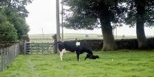 Cow with newborn calf 18.8.92 9