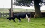 Cow with newborn calf 18.8.92 12