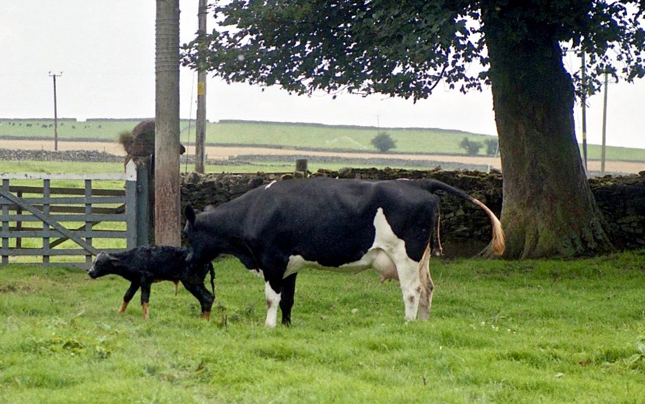 Cow with newborn calf 18.8.92 12