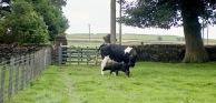 Cow with newborn calf 18.8.92 13