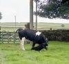 Cow with newborn calf 18.8.92 14