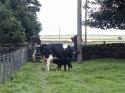 Cow with newborn calf 18.8.92 15