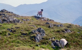 Mountain sheep on Place Fell 18.8.92 1