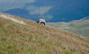 Mountain sheep on Place Fell 18.8.92 2