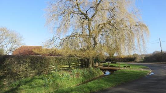 Stream, daffodils,willow