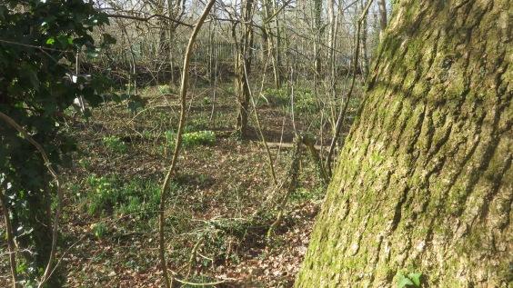 Daffodils in woodland 1