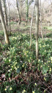 Daffodils in woodland