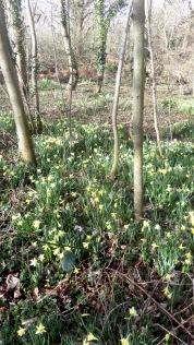 Daffodils in woodland