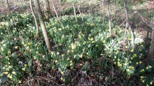 Daffodils in woodland 3