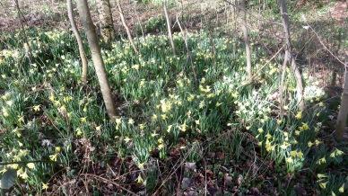 Daffodils in woodland 3