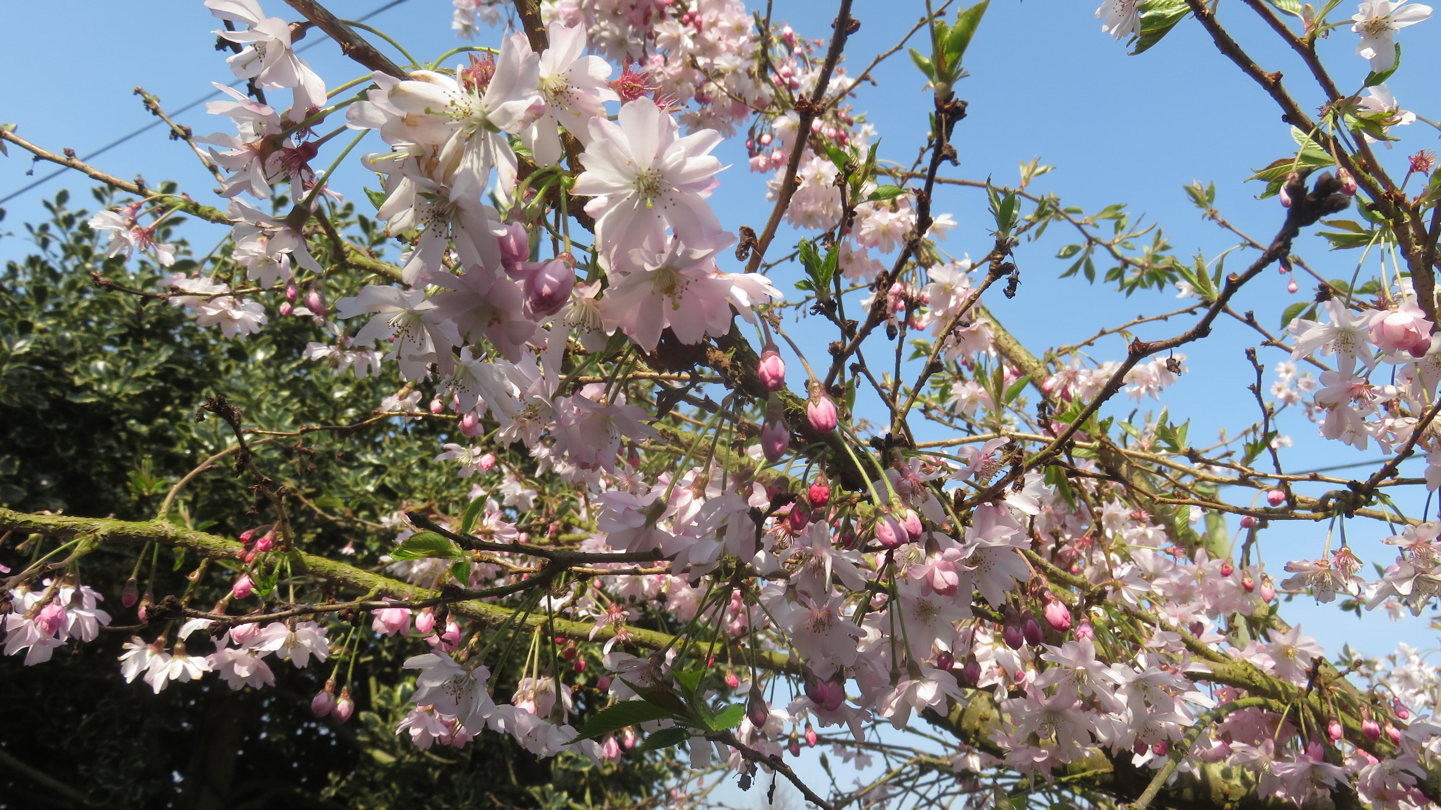 Cherry winter flowering 2