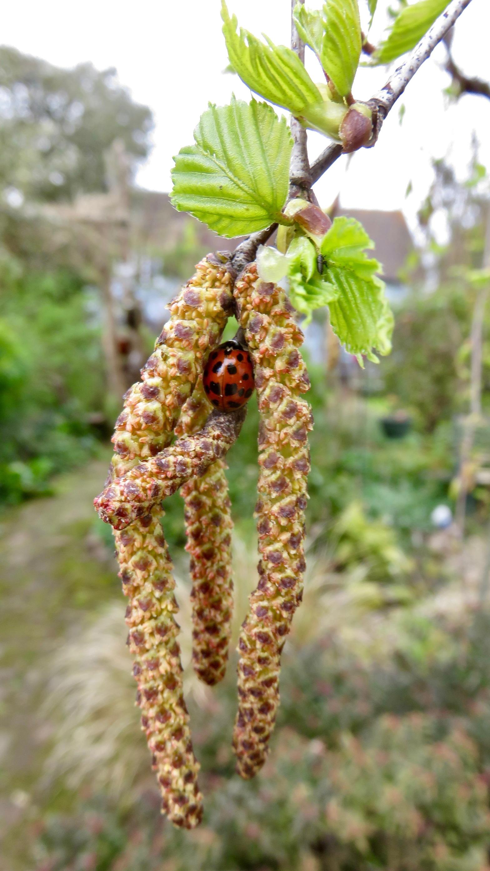 Ladybird in catkins