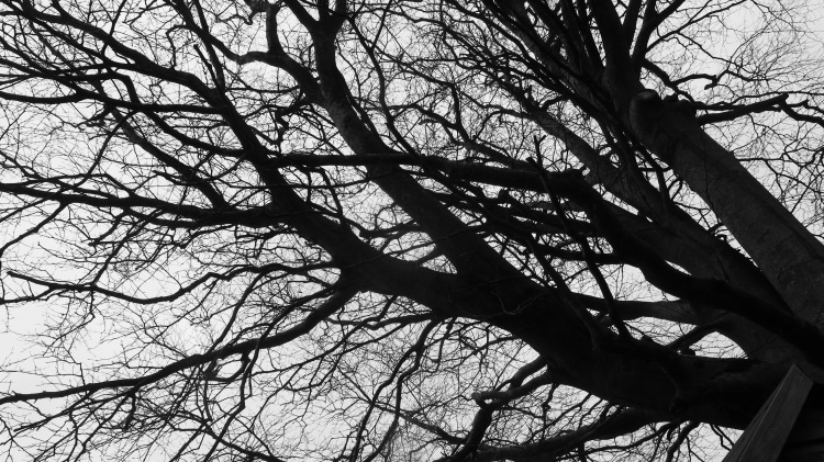 Beech branches