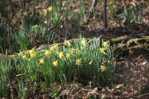 Daffodils 1