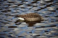 Canada goose fishing