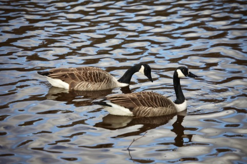 Canada geese 1