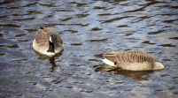 Canada geese 2