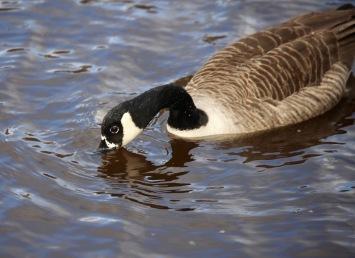 Canada goose fishing 2
