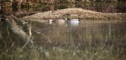 Mallards on waterlogged landscape 1