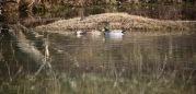 Mallards on waterlogged landscape 1