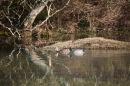 Mallards on waterlogged landscape 2