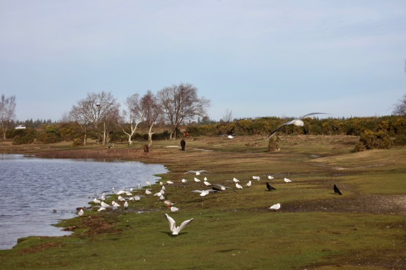 Gulls, mallards, crows, and ponies 1