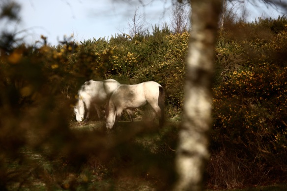 Ponies and gorse 1