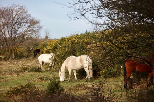 Ponies and gorse 2