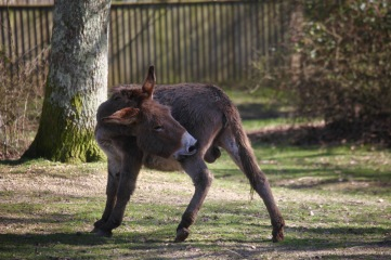 Donkey scratching 1