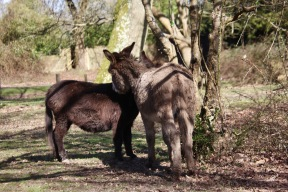 Donkeys necking 1