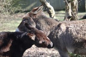 Donkeys necking 2