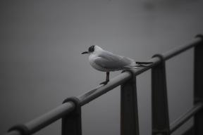 Gull in mist 1