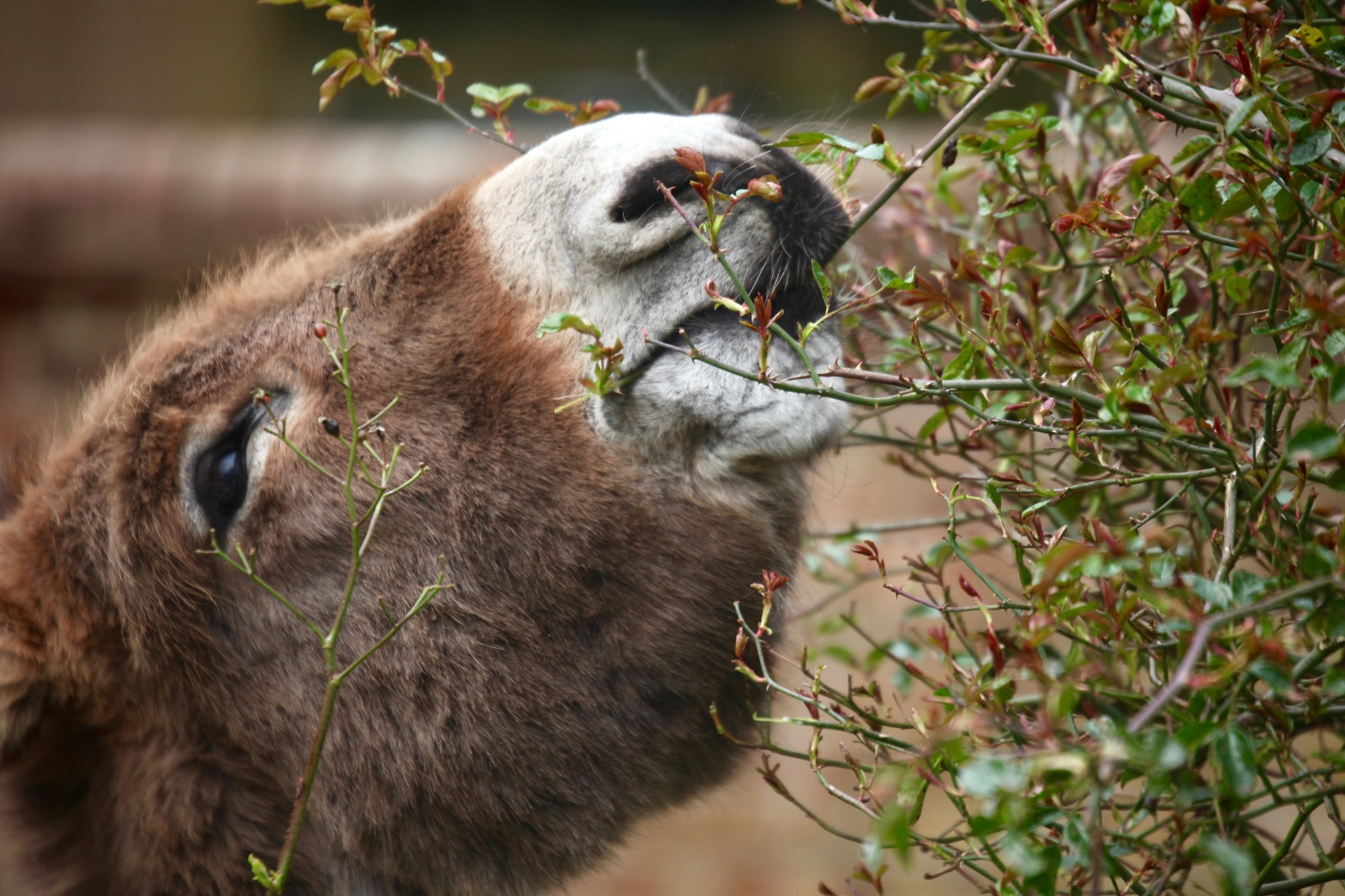 Donkey in garden 8