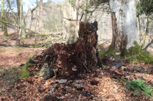Stump rotting