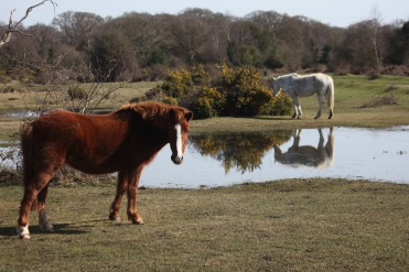 Ponies beside pool 4
