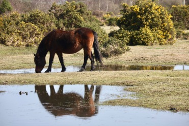 Pony beside pool and gorse 3