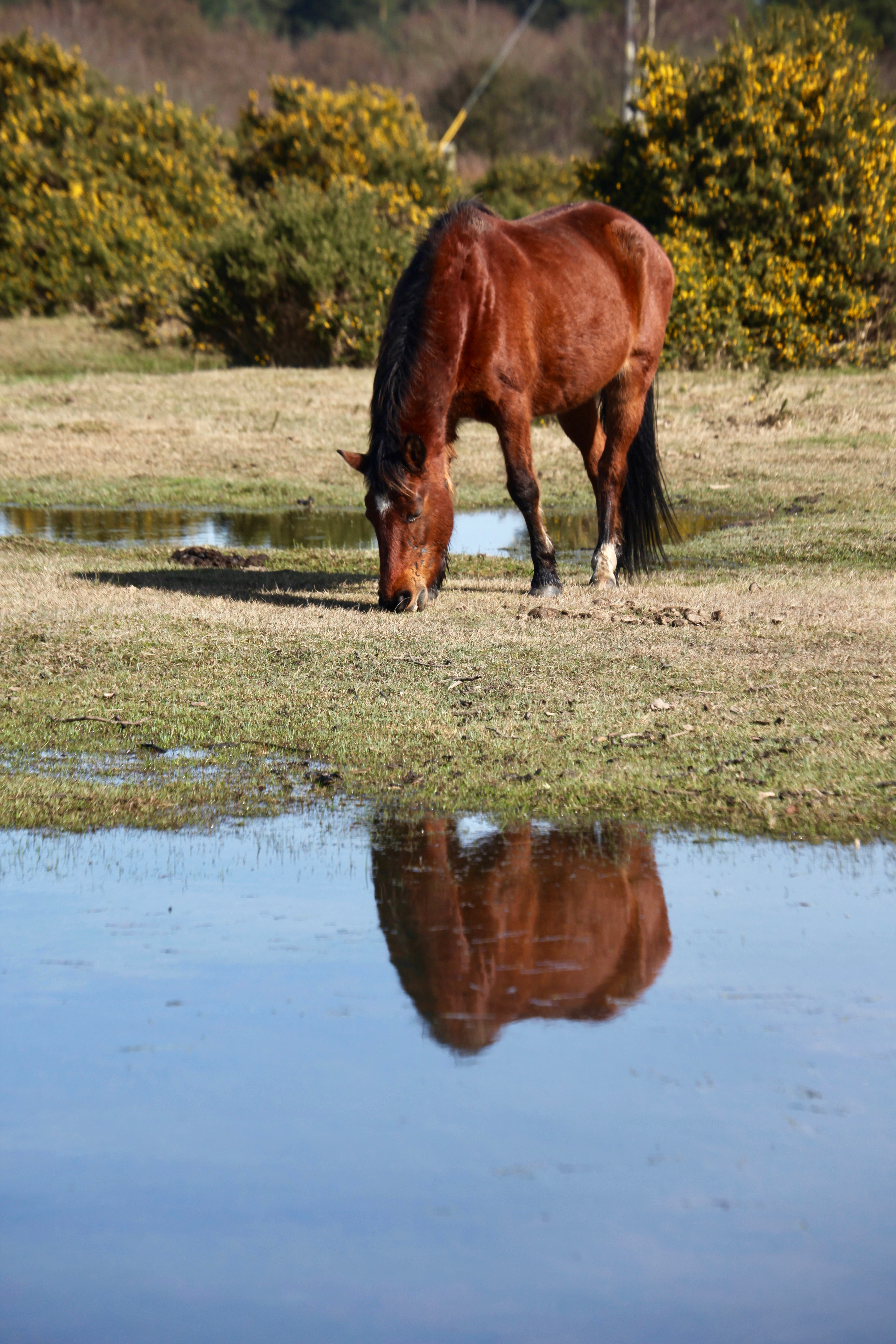 Pony beside pool and gorse 4