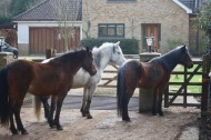 Ponies queuing for lunch 2