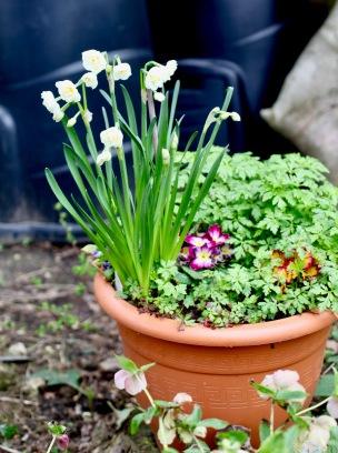 Daffodils 2