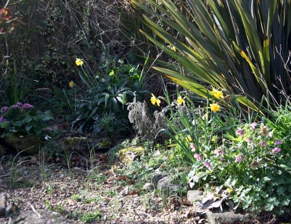 Daffodils, hellebores, allium, and bergenia