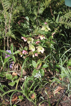 Hellebores and allium