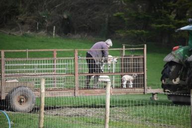 Unloading lambs 1