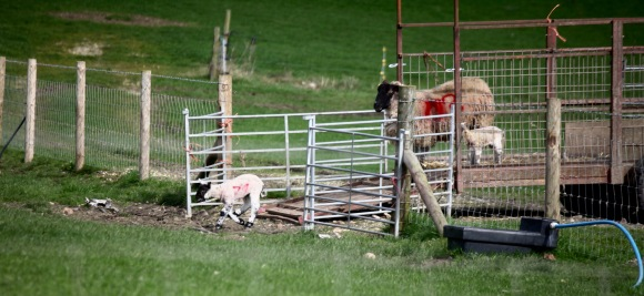 Unloading ewes and lambs 6