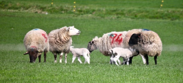 Ewes and lambs 1