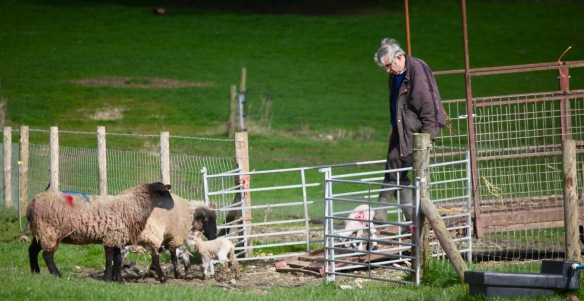 Unloading ewes and lambs 7