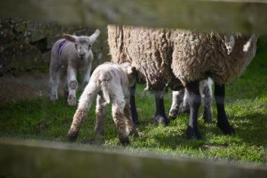 Ewe and lambs 1