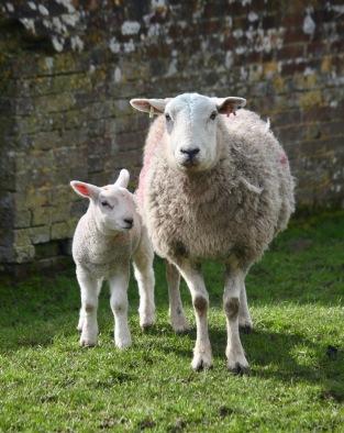Ewe and lamb 1