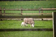 Ewe and lamb 2