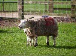 Ewe and lamb 3