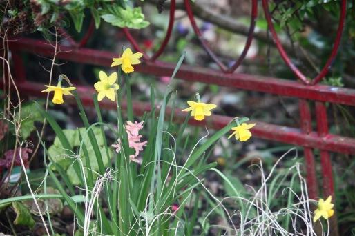 Daffodils 6 and hyacinth